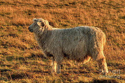 Photograph - Salisbury Sheep by Deborah Smolinske