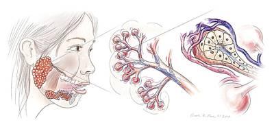 Physiology Photograph - Salivary Gland Anatomy by Nicolle R. Fuller