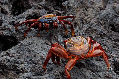 Soap Suds - Sally Light Foot Crabs Galapagos by Jason O Watson