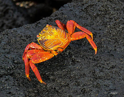 Photograph - Sally Lightfoot Crab by Allen Sheffield