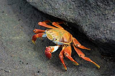 Galapagos Photograph - Sally Lightfoot Crab by Daniel Sambraus/science Photo Library