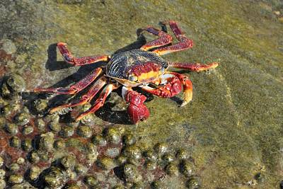 Photograph - Sally Lightfoot Crab On Rock by Bradford Martin
