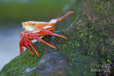Sally Lightfoot Crab On Rock Art Print by Sami Sarkis