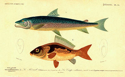 Carp Photograph - Salmon And Carp by Collection Abecasis