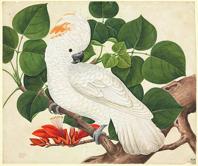 Nineteenth Century Photograph - Salmon-crested Cockatoo by Natural History Museum, London