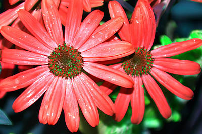 Salmon Daisy Art Print by Aimee L Maher Photography and Art Visit ALMGallerydotcom