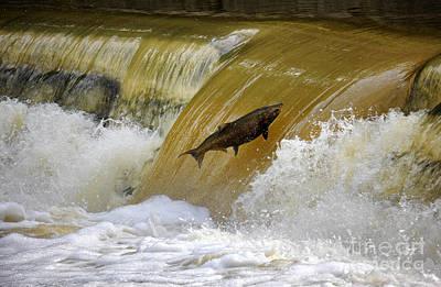 Photograph - Salmon Jump by Charline Xia