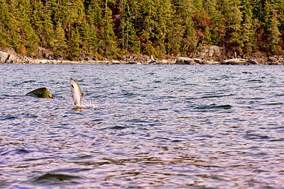 Photograph - Salmon Jumping In The Ocean by Peggy Collins