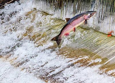 Salmon Jumping Issaquah Hatchery Art Print