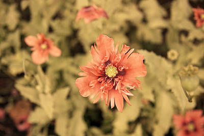 Mom Photograph - Salmon Opium Poppies by Brooke T Ryan