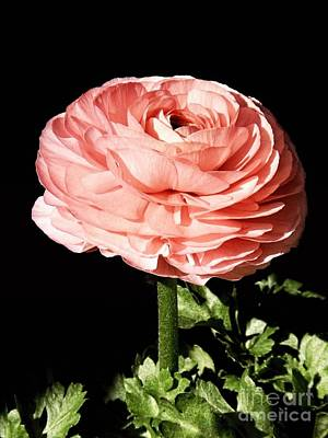 Photograph - Salmon Ranunculus Flower by Sharon Woerner