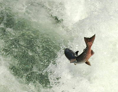 Photograph - Salmon Run 2 by Mamie Gunning