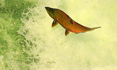 Photograph - Salmon Run 3 by Mamie Gunning