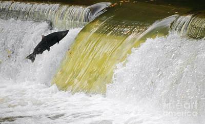 Photograph - Salmon Run by Charline Xia