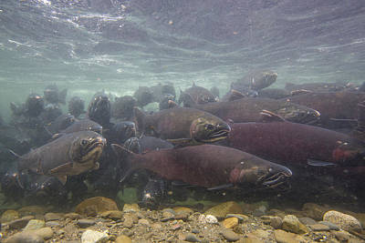 Coho Photograph - Salmon School Is In Session by Tim Grams