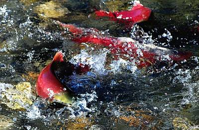 Salmon Photograph - Salmon Spawning by Don Mann