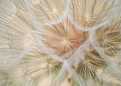 Salsify Fireworks Photograph By Jess Williams