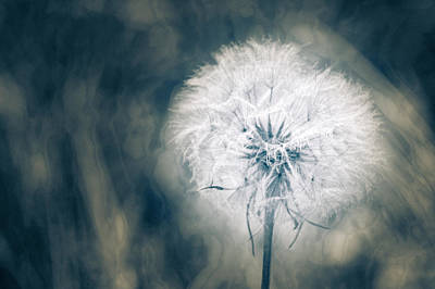 Photograph - Salsify Past In Blue by Ronda Broatch