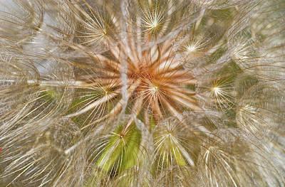 Salsify Wall Art - Photograph - Salsify Seeds  Wilbur, Oregon, United by Robert L. Potts