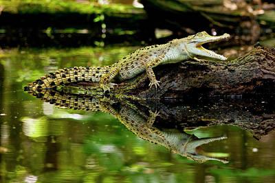 Crocodile Wall Art - Photograph - Salt Water Crocodile, Crocodylus by David Northcott