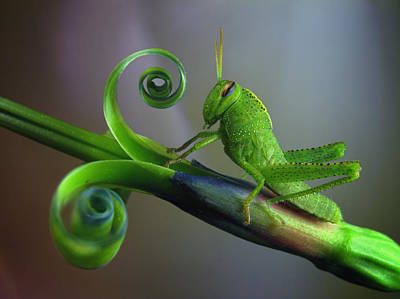 Grasshopper Photograph - Saltamontes by Jimmy Hoffman