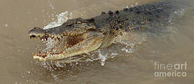Photograph - Saltwater Crocodile by Bob Christopher