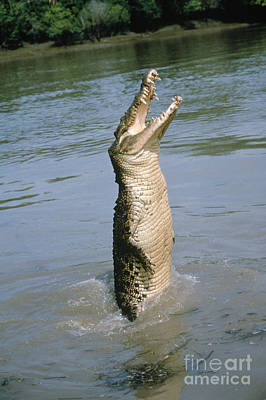 Photograph - Saltwater Crocodile by Jeffrey Rotman