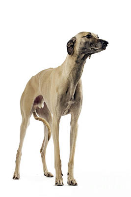 Greyhound Photograph - Saluki Dog by Jean-Michel Labat