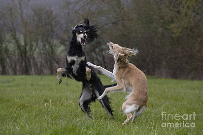 Sighthound Photograph - Salukis Fighting by Jean-Michel Labat