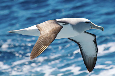 Salvins Albatross Art Print by Dave Walsh