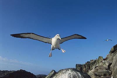 Salvins Albatrosses Bounty Islands Art Print by Tui De Roy