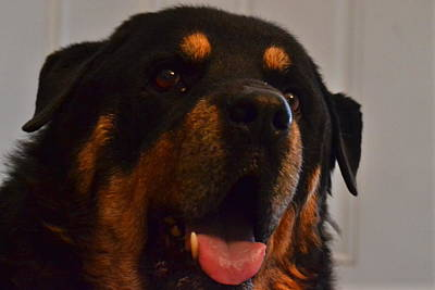 Rottweiler Wall Art - Photograph - Sam by Katy Goldapple