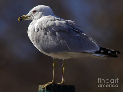 Photograph - Sam Stoic Seagull by Mary Lou Chmura