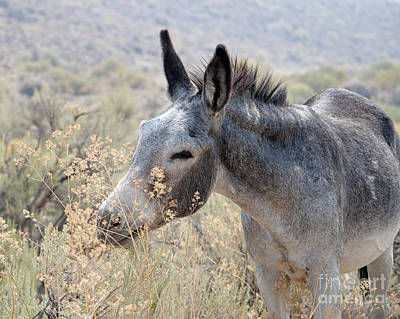 Photograph - Sam The Burro by Lula Adams