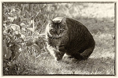 Photograph - Sam The Cat Sepia With Border by Mary Lee Dereske