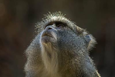 Photograph - Samango Monkey by Havard Rosenlund