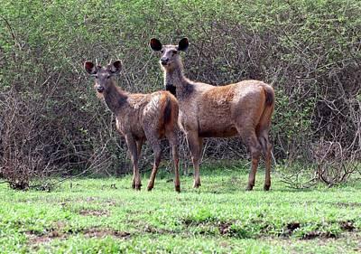 Two Deer Photograph - Sambar Deer With Young by K Jayaram