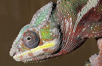 Sambava Panther Chameleon Art Print by Nigel Downer