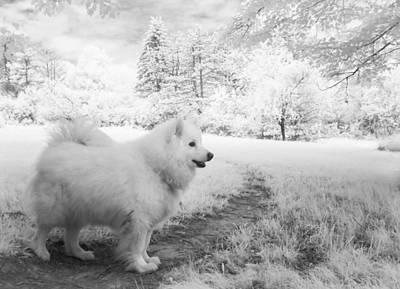 Photograph - Samoyed In Ir by Eric Peterson