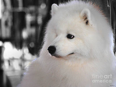 Photograph - Samoyed by Jai Johnson