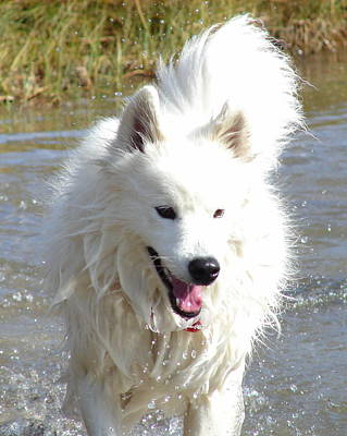 Photograph - Samoyed Splash by Ramona Johnston