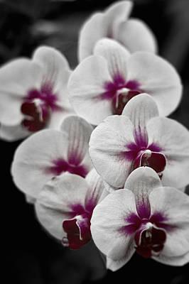 Photograph - Samurai Orchids  by Stuart Litoff