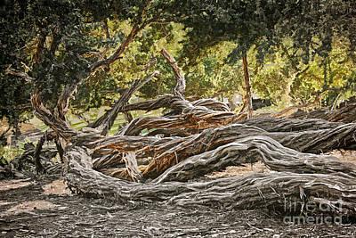 Photograph - San Diego - Gnarled Twisted Tree Trunks by Gabriele Pomykaj