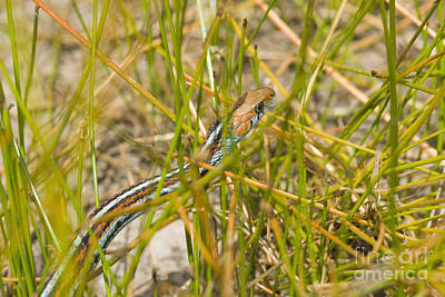 Photograph - San Francisco Garter Snake by Dan Suzio