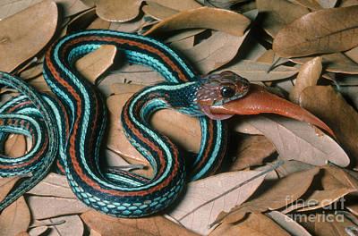 Garter Snake Photograph - San Francisco Garter Snake by Gregory G. Dimijian, M.D.