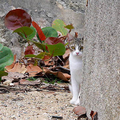Photograph - San Juan - Colonial Cat by Richard Reeve