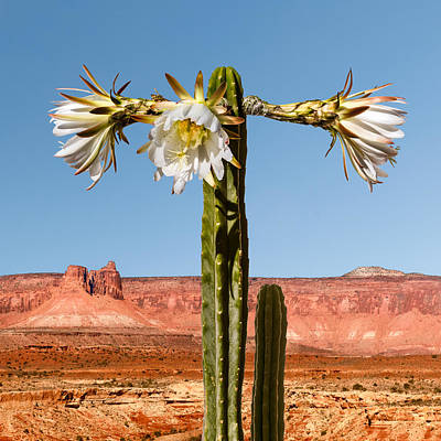 Photograph - San Pedro Cactus by Nancy Strahinic