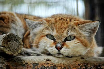 Photograph - Sand Cat Blues by Fraida Gutovich