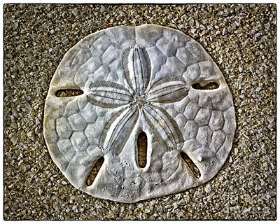 Photograph - Sand Dollar 1356 by Walt Foegelle