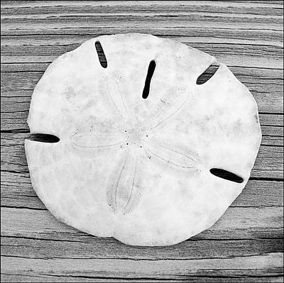 Photograph - Sand Dollar by Christopher Meade